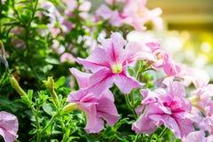 Petuniabloem in de tuin, de aardachtergrond of het behang Royalty-vrije Stock Fotografie