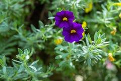 Petuniabloem in de tuin, de aardachtergrond of het behang Stock Afbeelding