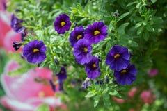 Petuniabloem in de tuin, de aardachtergrond of het behang Royalty-vrije Stock Foto's