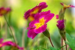 Petuniabloem De tuin van de lente Stock Afbeeldingen