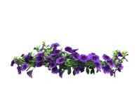 Petuniabloemen Royalty-vrije Stock Foto's