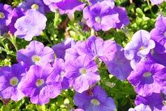 Petuniabloemen Stock Afbeeldingen