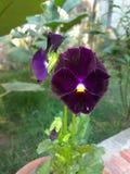 Petuniabloemen in babyinstallatie stock afbeelding