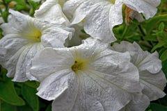 Petuniabloemen in de tuin in de zomer Stock Afbeelding