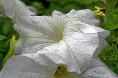 Petuniabloemen in de tuin in de zomer Stock Fotografie