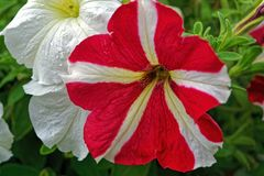 Petuniabloemen in de tuin in de zomer Stock Afbeeldingen