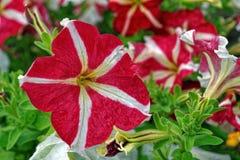 Petuniabloemen in de tuin in de zomer Stock Foto