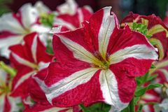 Petuniabloemen in de tuin in de zomer Royalty-vrije Stock Foto's