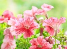Petuniabloemen in een tuin stock fotografie