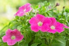 Petuniabloemen in een tuin royalty-vrije stock foto's