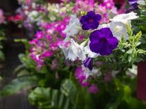 Petuniabloemen het Hangen royalty-vrije stock foto's