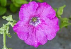 Petuniablomma Arkivbild