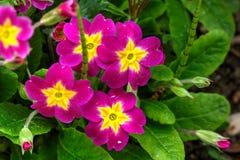Petuniablomma arbeta i trädgården täta blommor för Cherry tulpan för röd fjäder upp white Arkivfoto