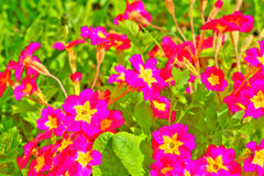 Petuniablomma arbeta i trädgården täta blommor för Cherry tulpan för röd fjäder upp white Arkivfoton