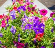 Petuniablommaslut upp med att blomma för grön färg och för röda färger royaltyfri foto