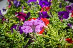 Petuniablommaslut upp med att blomma för grön färg och för röda färger royaltyfria bilder