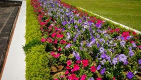 Petuniablommaslut upp med grön färg och röda färger som blommar - foto arkivbilder