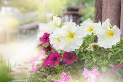 Petuniablommaträdgård på Japan royaltyfria bilder