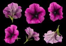 Petuniablommauppsättning på svart royaltyfri fotografi