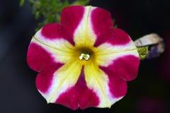 Petuniablommor royaltyfri fotografi