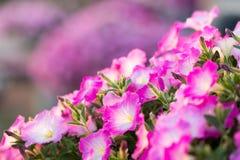 Petuniablommor Royaltyfri Foto