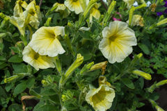 Petuniablommor Fotografering för Bildbyråer