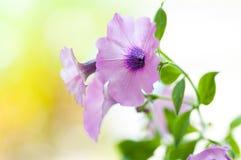 Petunia Royaltyfria Bilder