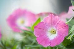 Petuniahybridablomma Arkivfoton