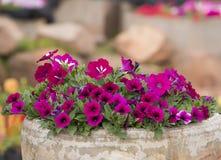 petunian blommar i kruka Royaltyfri Fotografi