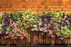 Petunian blommar, och pelargoniablomningen är blommande Lilor rosa färger, vit, gul blom royaltyfri bild