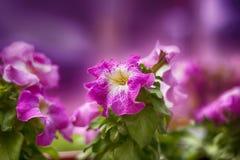 Petuniarosa färger Royaltyfri Foto