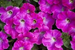 Petuniarosa färger Arkivfoto