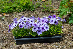 Petunias Royalty Free Stock Photo