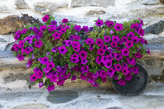 Petunias Royalty Free Stock Image