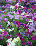 Petunias. Colourful garden of petunias royalty free stock photo