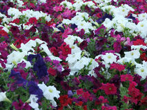 Petunias. Colourful batch of petunias - pinks, blues and whites royalty free stock photography