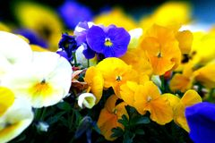 Petunias Imagem de Stock Royalty Free