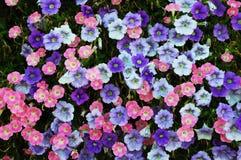 Petunias Royalty Free Stock Photos