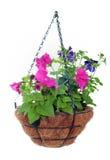 petunias Royaltyfria Bilder
