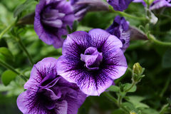 Petunias Stock Photo