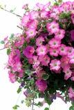 Petunias Stock Photography