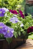 Petunias Stock Images