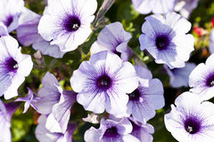 Petunias Fotos de Stock Royalty Free