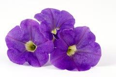 petunias fotografering för bildbyråer