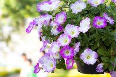 Petunias Foto de archivo libre de regalías
