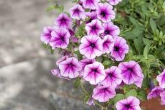 petunias Fotografia de Stock Royalty Free