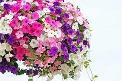 Petunias Foto de archivo