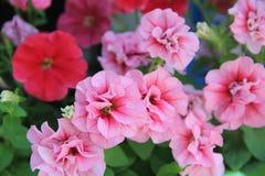 petunias foto de stock royalty free