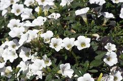 petunias Imagem de Stock