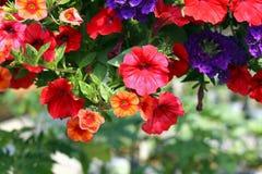 Petunias Fotografía de archivo libre de regalías
